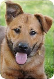 australian shepherd for sale los angeles jam adopted puppy los angeles ca shiba inu german shepherd