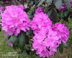 Pink Spring Flowering Shrubs - viburnum pruning early summer is time to prune spring blooming shrubs