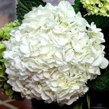hydrangea white wholesale bulk jumbo white hydrangea flowers flowers by gallon e i