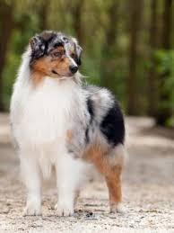 australian shepherd kc pedigree kc registered australian shepherd puppies in pontypool
