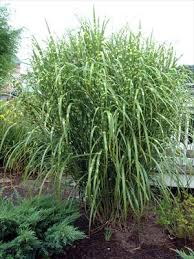 ornamental grasses journal garden design montreal