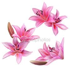 Pink Lily Flower Lily Stock Vectors Royalty Free Lily Illustrations Depositphotos