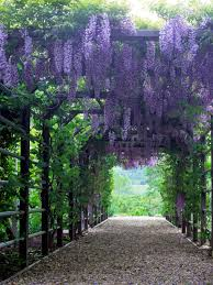 wisteria sinensis australian bush flower 15 climbing vines for lattice trellis or pergola wisteria