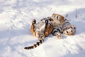 overhead of siberian tiger laying on back on kimballstock