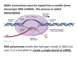 catalyst 1 during which part of the cell cycle does dna replicate