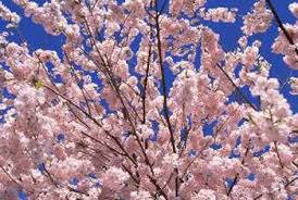 pink flower tree white or pink tree flowers that bloom in home guides sf