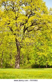 large oak tree green stock photos large oak tree green stock