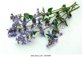 Catnip Flower - catnip plant stock photos u0026 catnip plant stock images alamy