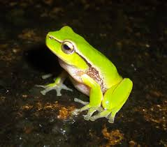southern leaf green tree frog