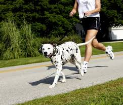 4 australian shepherd x dalmation 11 best dog breeds for runners