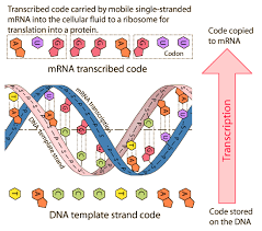 dna to rna transcription