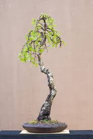 225 best bonsai images on pinterest bonsai trees gardening and