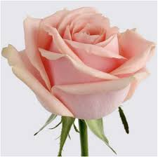 Peach Roses Pearl Avalanche Pinkish Peach Roses Flowers Delivery Wellington
