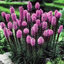liatris spicata combo 40 flower bulbs flowering