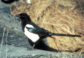 Magpies a more common sight throughout alaska geophysical institute