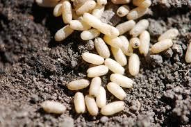 ant eggs pupae u2013 wild ants