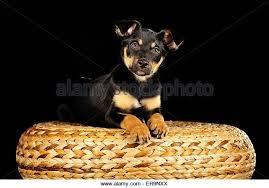 Bench Kelpie Puppies Sale Lying Kelpie Stock Photos U0026 Lying Kelpie Stock Images Alamy