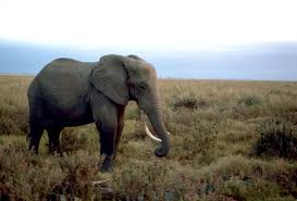 for a defender of elephants china u0027s ivory ban comes just in time