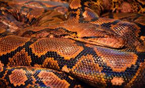 brown and black skin snake free image peakpx