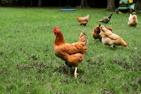 Best Backyard Chicken Breed by Best Backyard Chicken Breeds Bantam Backyard Chicken Breeds