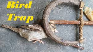 how to catch a bird using spring trap awesome quick bird trap in