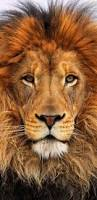 Home Interior Lion Picture Best 25 Lion Painting Ideas Only On Pinterest Lion Art