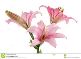 pink lilies pink lilies stock photography image 34791712