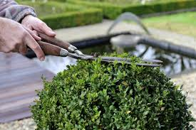paramount factors to consider while planting winter gem boxwoods