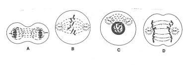 mitosisstages jpg