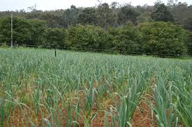 growing garlic in western australia agriculture and food