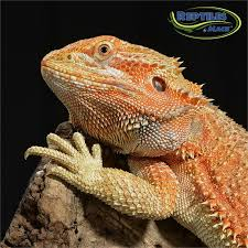 bearded dragon care sheet reptiles mack