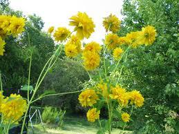 yellow garden flowers identification u2013 greenfain