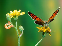 caterpillar to butterfly wallpapers caterpillar to butterfly pc