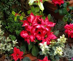 christmas plants best images collections hd for gadget windows