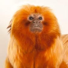 golden lion tamarin national geographic