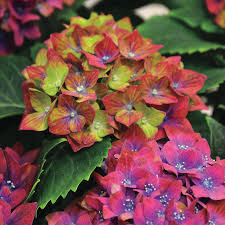Hydrangea by Next Generation Pistachio Hydrangea From Park Seed