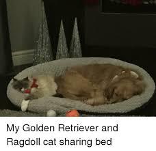 Sharing Bed Meme - golden retriever and golden retriever meme on esmemes com