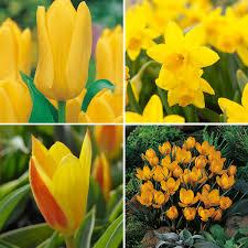 Kies Garten Gelb 40 Blumenzwiebeln Für Einen Balkonkasten Ganz In Gelb U203a U203a Online