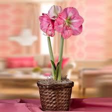 pre planted amaryllis gifts easy to grow bulbs