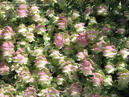 plantfiles pictures ornamental oregano kent origanum