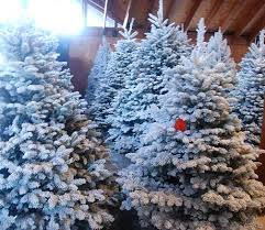 lightly flocked christmas tree you ll find beautiful christmas trees at little hills farm in