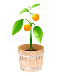 orange tree in a wooden tub isolated on a white background stock