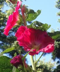 Hollyhock Flowers Pink Hollyhock Flower Essence Flower Essences Flower Remedies