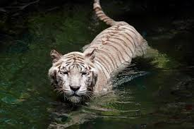 utterly mind boggling facts about the white bengal tiger