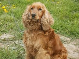 cocker spaniel dog breed information pictures amp more