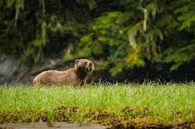 first nation tribe discovers grizzly bear