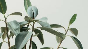 indoor trees that don t need light the best indoor trees and big plants to grow in your living room