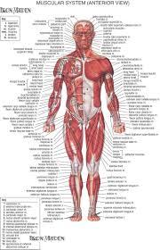 Human Anatomy Physiology Pdf Human Body Muscle Anatomy Pdf Human Anatomy And Physiology Ii