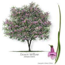 desert willow i think this is the winner to our area