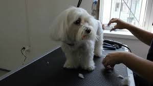 haircut ideas for long hair jack russell dogs dj dog is in the house an adorable jack russell dog in a club and